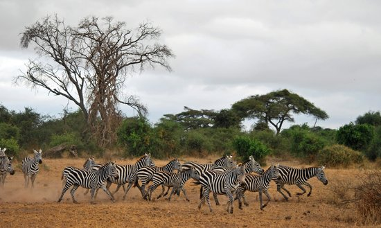 Tortilis Camp : A herd of zebras.