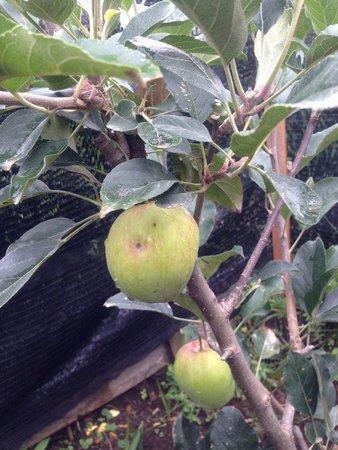 Kiram's Village: Apple tree at Kiram village!