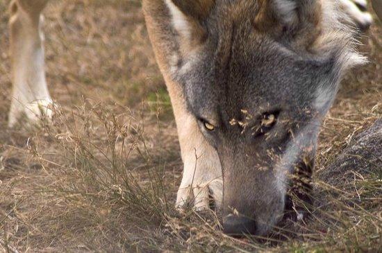 """Gueret, France : Parc animalier """"Les loups de Chabrières"""""""