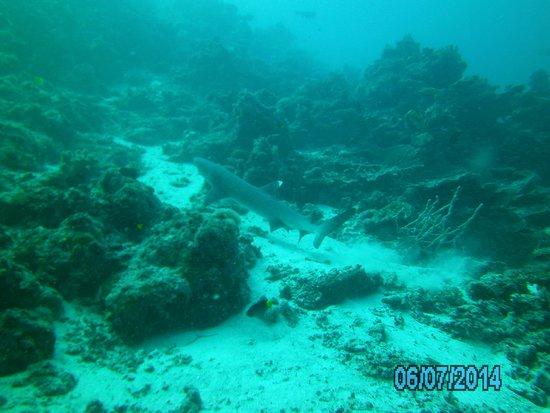 Island Divers: рифовая акула
