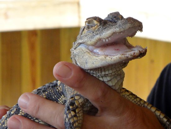 Jungle Erv's Everglades Airboat Tours : baby gator
