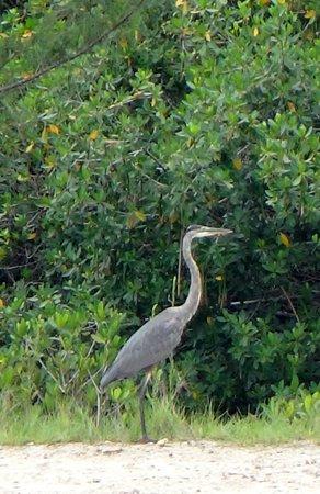 Jungle Erv's Everglades Airboat Tours : blue heron