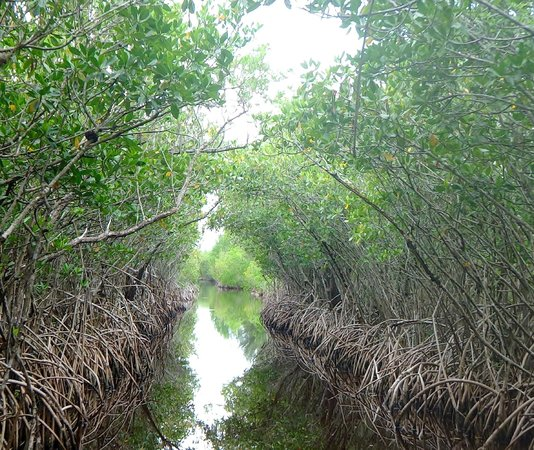Jungle Erv's Everglades Airboat Tours: mangrove tunnel