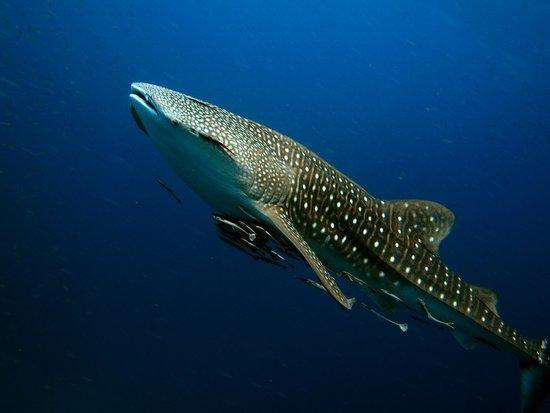 Easy Divers Bophut-Choeng Mon: Unser Walhai