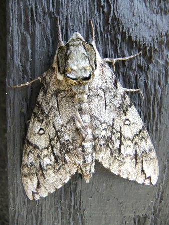 Skyland : another moth?
