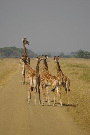 Makakatana Bay Lodge: giraffe