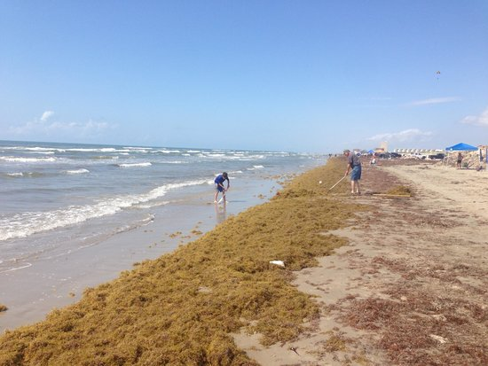 Port Aransas Beach: Seaweed