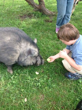 Orchard House Bed and Breakfast: Kristopher feeding Bacon the potbelly pig!