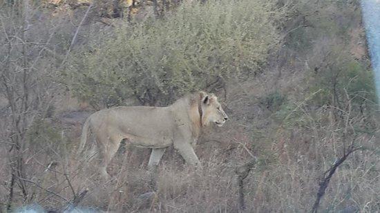 Heritage Tours & Safaris: Lions stalking rhino