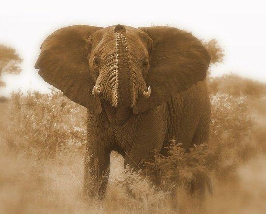 Tembe Elephant Park Accommodation: most famous Tembe resident