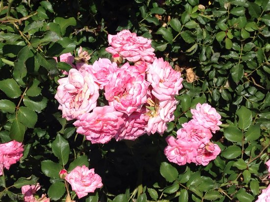 Norfolk Botanical Garden : Roses