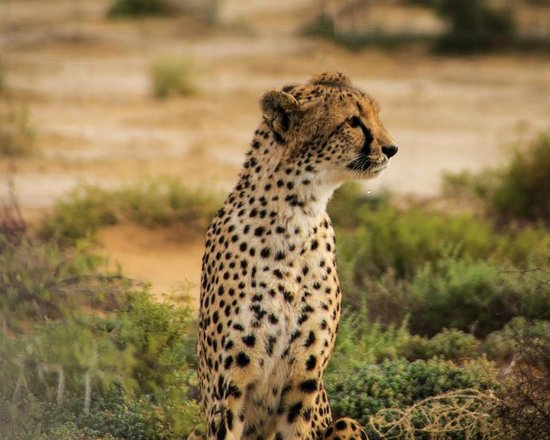 Executive Touring: A Cheetah at Inverdoorn Private Game Reserve.