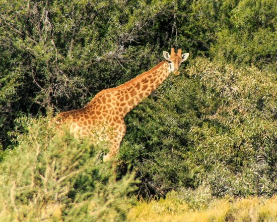 Executive Touring: A Giraffe at Inverdoorn Private Game Reserve.