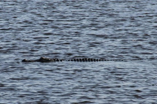 Myakka River State Park: Just one of the few alligators popping up to say hello.