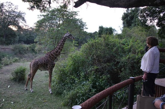 Governor's Camp : Giraffe that dropped into the bar for a snack...