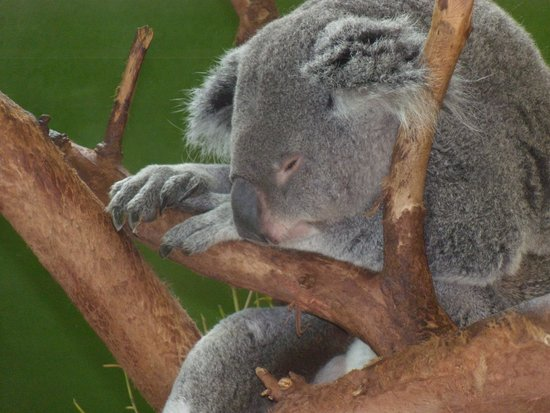 Riverbanks Zoo and Botanical Garden: cute koala sleeping
