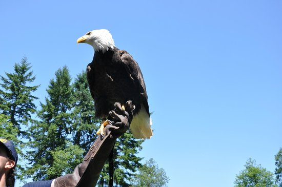 The Raptors: Bald eagle at Raptor Center, Duncan