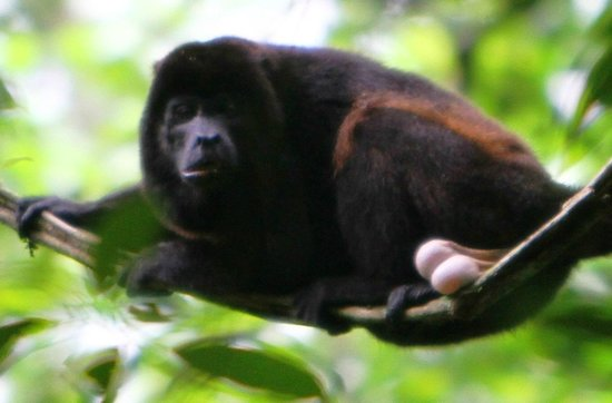 Drake Bay, Costa Rica: Howler Monkey