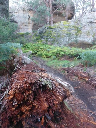 Blackfellows Hand Cave: fallen tree beside walking track on Blackfellows Hand