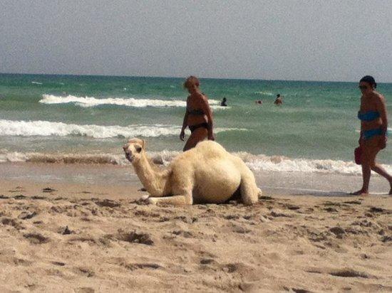 Yadis Djerba Golf Thalasso & Spa: La spiaggia piena di cammelli