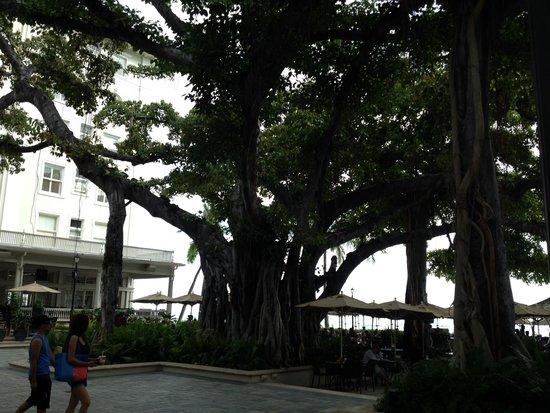 Moana Surfrider, A Westin Resort & Spa: Banyan tree at the beach house bar