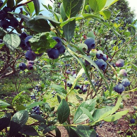 Carnation, WA: Blueberries ripe for the picking!