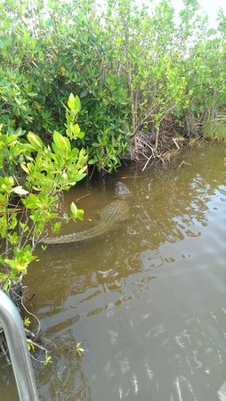 Captain Jack's Airboat Tours: Alligator en vue