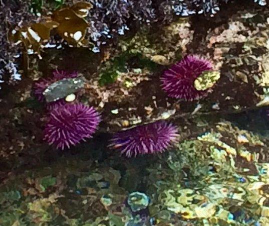 MacKerricher State Park: Sea urchins