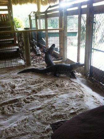 Gator Park: caimanes del show