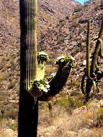The Ritz-Carlton, Dove Mountain: Blooming cactus on the hiking trails.