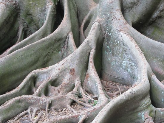 Marie Selby Botanical Gardens: roots of their enormous banyan tree - multilevel viewing available