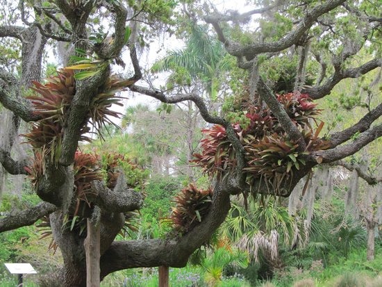 Marie Selby Botanical Gardens : epiphytes growing in a very large and perfectly formed tree
