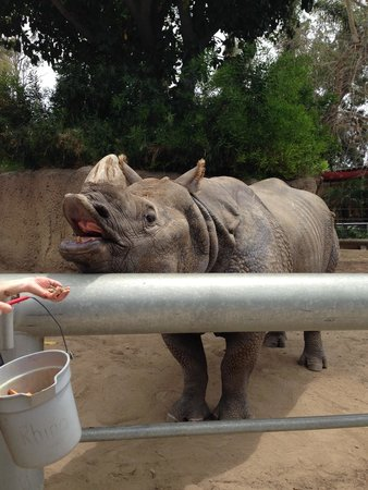San Diego Zoo : Rhinos love sweet potatoes!
