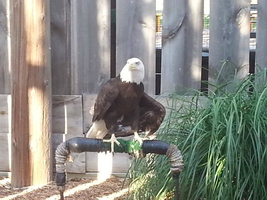 Cheney, KS: Wazoo the Bald Eagle