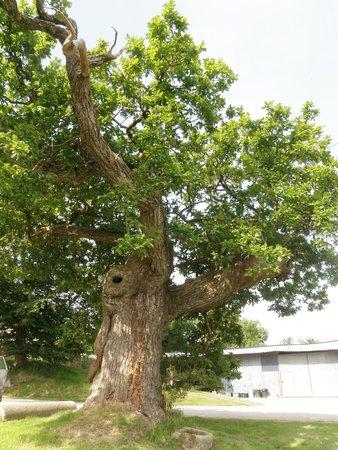 Hele Barton Farm Holiday Cottages: Fantastic old tree at Hele Barton