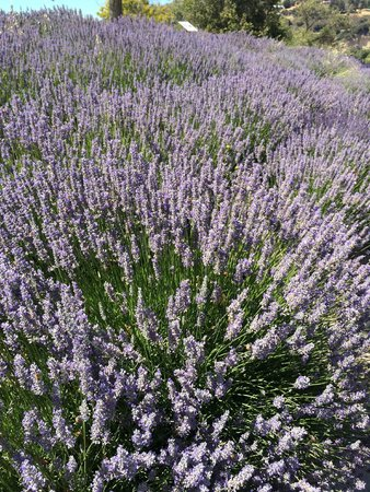 Carmel Valley Ranch : Fields of Lavender all over the Ranch