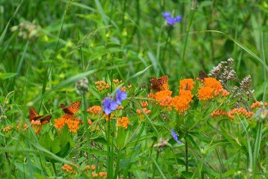 Aldo Leopold Foundation: Monarch butterfly milkweed..