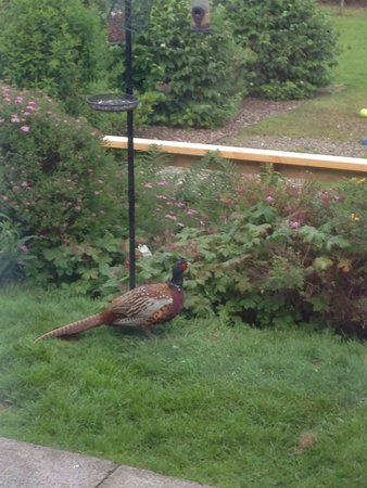 Ardlogie Guest House: Our friendly local Pheasant enjoying the feeders