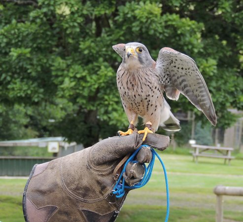 Tamar Otter and Wildlife Centre : Floating bird of prey!