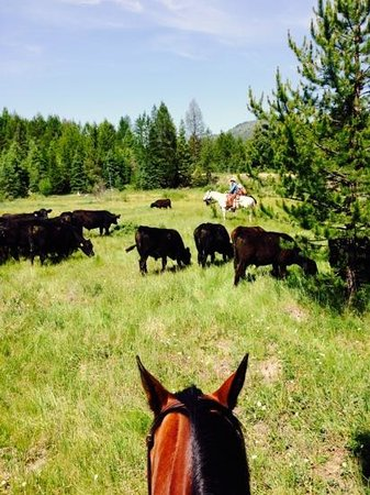 McGinnis Meadows Cattle and Guest Ranch: cattle Arbeit, heraussortieren von kranken Stieren