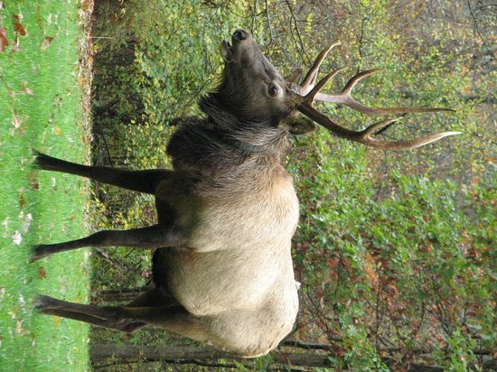 Wapiti Woods: Elk on the grounds