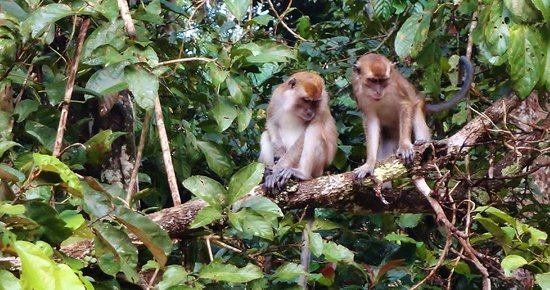 Bilit Rainforest Lodge: macaques