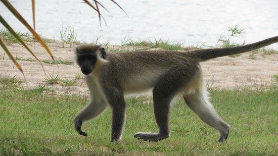 Oualie Beach Resort: Green Velvet Monkey