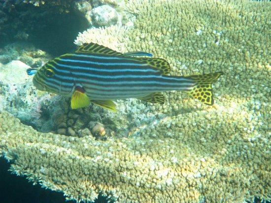 Vilamendhoo Island Resort & Spa : Brave Snapper
