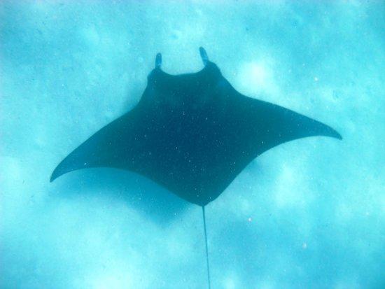Vilamendhoo Island Resort & Spa : Swimming with Mantas