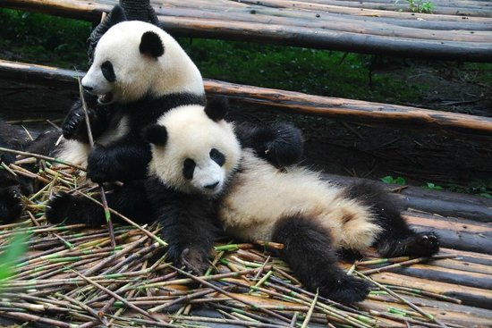 Giant Panda Breeding Research Base (Xiongmao Jidi): It's a tough life having to reach for more food