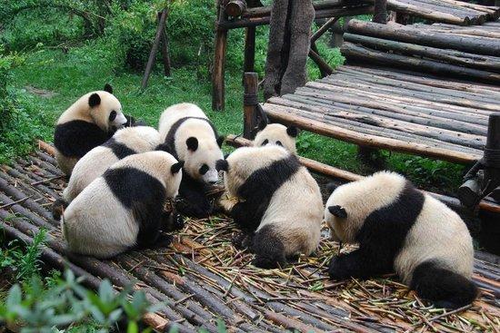 Giant Panda Breeding Research Base (Xiongmao Jidi): breakfast time!