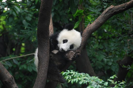 Giant Panda Breeding Research Base (Xiongmao Jidi): just hanging out