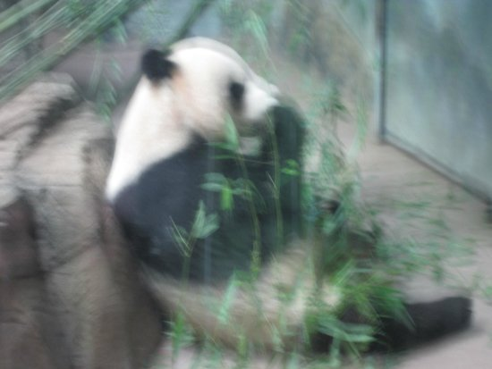 National Zoological Park : Mom Mei Xiang