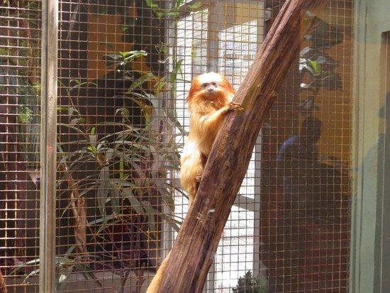 National Zoological Park : Golden Lion Tamarin